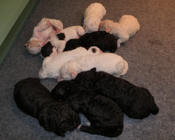 Pups 1 week oud